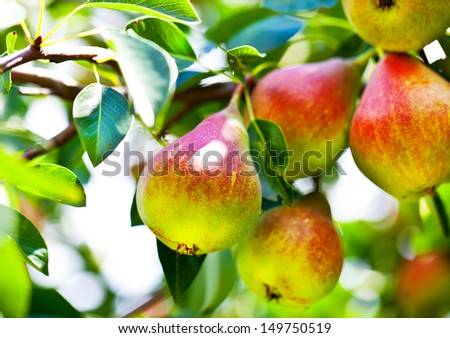 Beautiful pears on branch in summer - stock photo