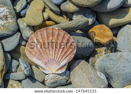 beautiful pecten shell laying on the rocks - stock photo