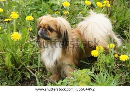beautiful pekingese  on grass amongst dandelion - stock photo