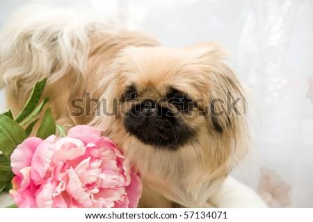 beautiful pekingese with flower of the peony - stock photo