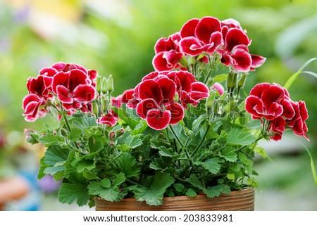 Beautiful pelargonium  - stock photo
