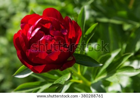 beautiful peony flower in the garden. closeup