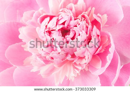 Beautiful peony flower macro - stock photo