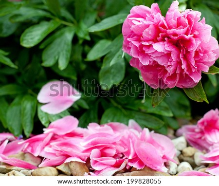 Beautiful peony in a full bloom - stock photo