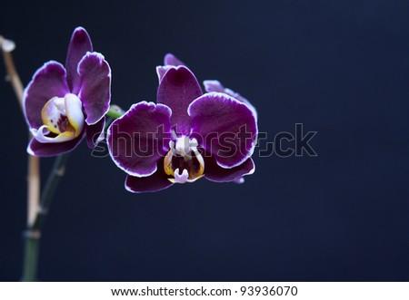 Beautiful perilla purple orchid on dark background - stock photo