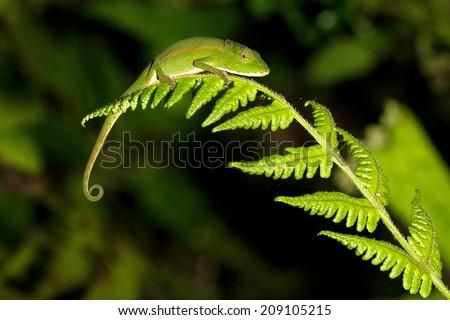 Beautiful Perinet chameleon (or Malagasy side-striped, Calumma gastrotaenia) at night in Ranomafana national park, Madagascar - stock photo