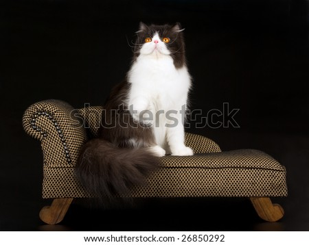 Beautiful Persian black and white adult on brown miniature chaise sofa couch on black background - stock photo
