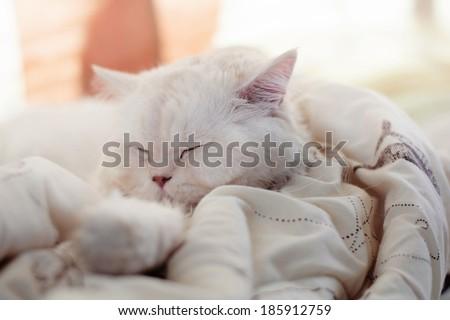 Beautiful Persian cat sleeping - stock photo