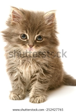 Beautiful persian little kitten isolated on white background - stock photo