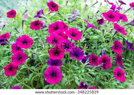 Beautiful Petunia Flowers - stock photo