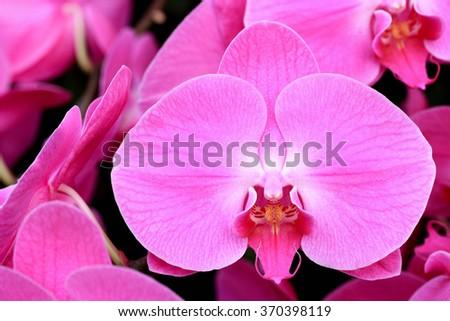 Beautiful Phalaenopsis orchid flower  - stock photo