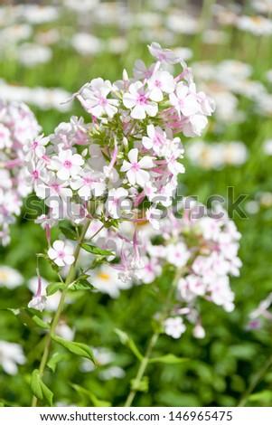 Beautiful phlox flowers in a garden. selective focus, shallow dof - stock photo