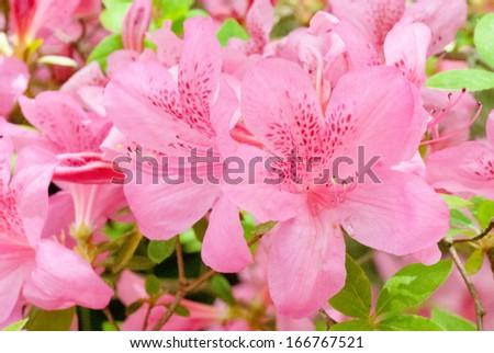 Beautiful photo of a blooming Pink Azalea flowers. - stock photo