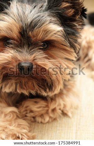 Beautiful photo of a cute Yorkshire terrier - stock photo