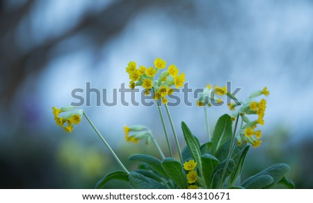 Beautiful photo of blooming Cowslips, Primula veris