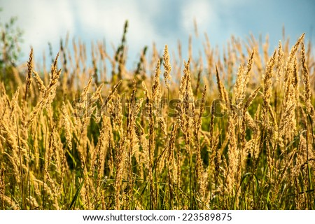 Beautiful photo of dried grass in sunrays on river bank - stock photo