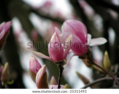 beautiful photo of magnolia tree in bloom - stock photo