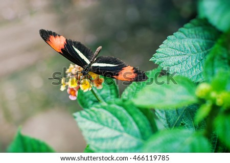 Beautiful photo of Postman butterfly (Heliconius melpomene tomate)