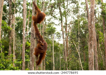 Beautiful photo of wild orangutan in Borneo forest Indonesia. - stock photo