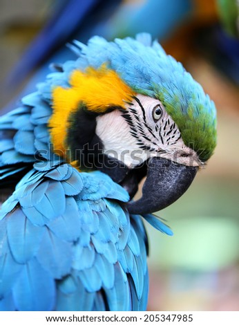 beautiful photo portrait blue macaw