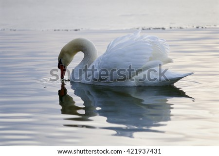 Beautiful picture with a mute swan drinking water from the lake - stock photo