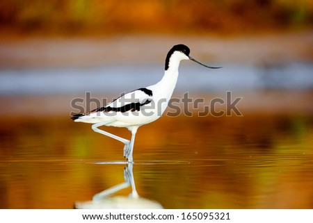 Beautiful pied avocet, Recurvirostra avosetta on the waters of the Bay of Cadiz - stock photo