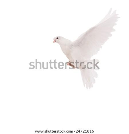 beautiful pigeon - stock photo