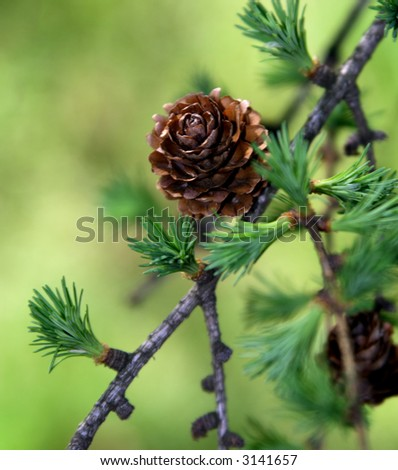 Beautiful pine cones - stock photo