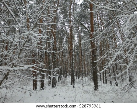 Beautiful pine forest. cones on the branches. Winter landscape. Snow.