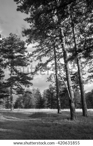 Beautiful pine forest on sunny summer day in black and white. - stock photo