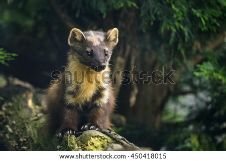 Beautiful pine martin martes martes on branch in tree