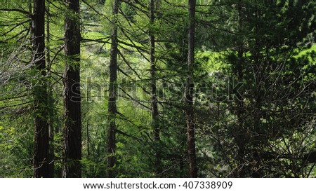 beautiful pine tree forest in spring