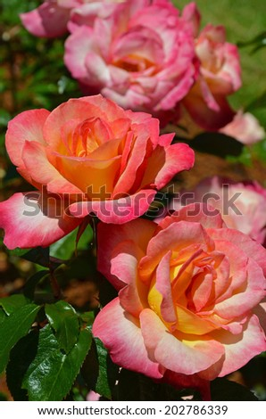 Beautiful pink and orange summer roses