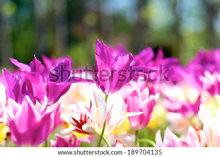Beautiful pink and purple tulips in spring park  - stock photo