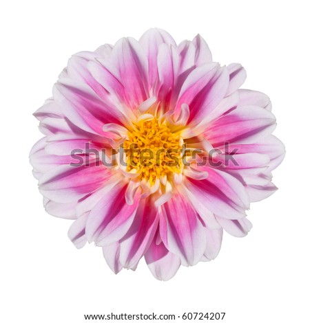 Beautiful Pink and White Dahlia Flower with Yellow Center Isolated on White Background - stock photo