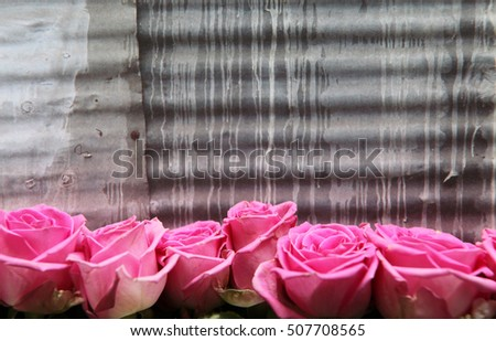 Beautiful pink and white roses on a iron background
