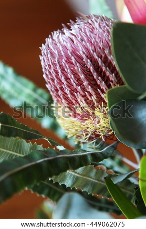 Beautiful pink and yellow Banksia flower from Australia - stock photo