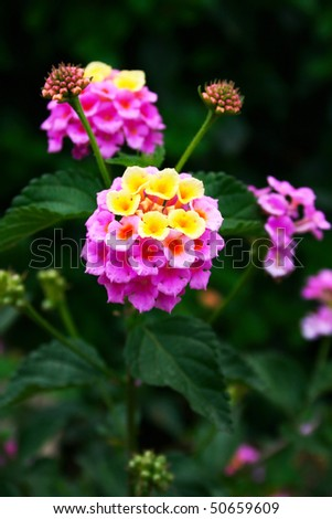 yellow and purple lantana beautiful pink yellow lantana flowers stock photo 50659609