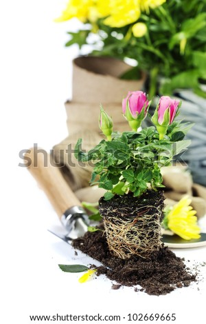 Beautiful pink and yellow roses in a flowerpots and garden tools  isolated on white - stock photo