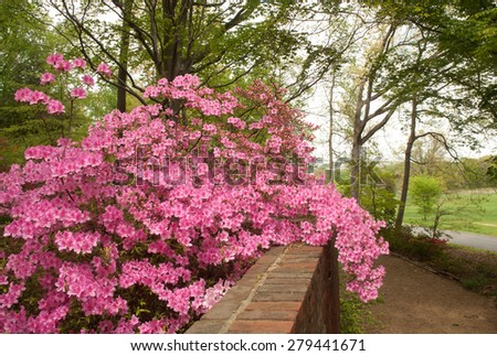 Beautiful pink azalea flowers growing over the top of a brick wall at the National Arboretum in Washington, D.C, - stock photo
