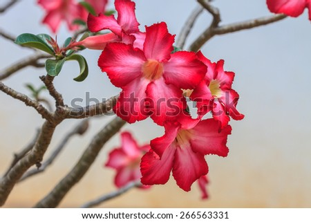 Beautiful pink azalea flowers tropical flowers. Desert roses in the garden - stock photo