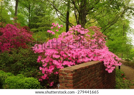 Beautiful pink azaleas blooming over brick wall in National Arboretum in Washington, D.C. - stock photo