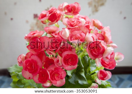 Beautiful pink Begonia flower with soft focus background