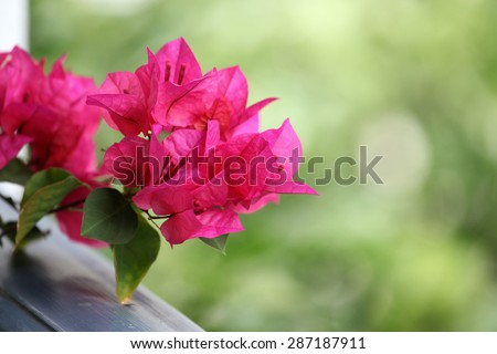 Beautiful pink Bougainvillea flowers with green background - stock photo