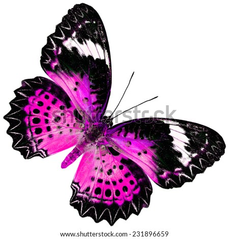 Beautiful Pink Butterfly (Leopard Lacewing Butterfly) upper wing profile in fancy blue color isolated on white background - stock photo
