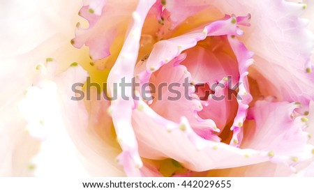 Beautiful pink cabbage flower on white isolated