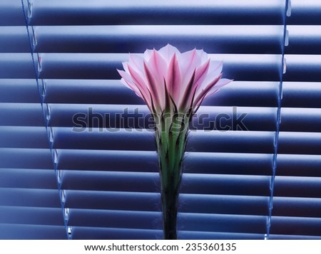 Beautiful pink cactus flower at dawn, standing in front of the closed window blinds - stock photo