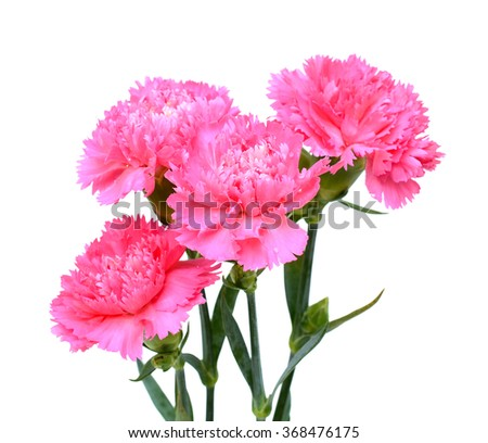 beautiful pink carnation flowers isolated on white background