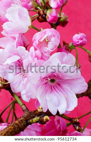 Beautiful Pink Cherry Blossom Flowers