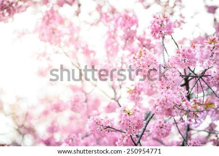 Beautiful pink cherry blossom sakura flower stock photo edit now beautiful pink cherry blossom sakura flower mightylinksfo